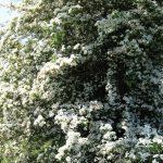 Meiboom in bloei